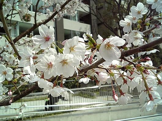 桜が咲くとすぐ雨降りますよね(・ω・)